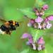 "Bombo ""Bombus terrestris"", Apidae (Imenottero)"