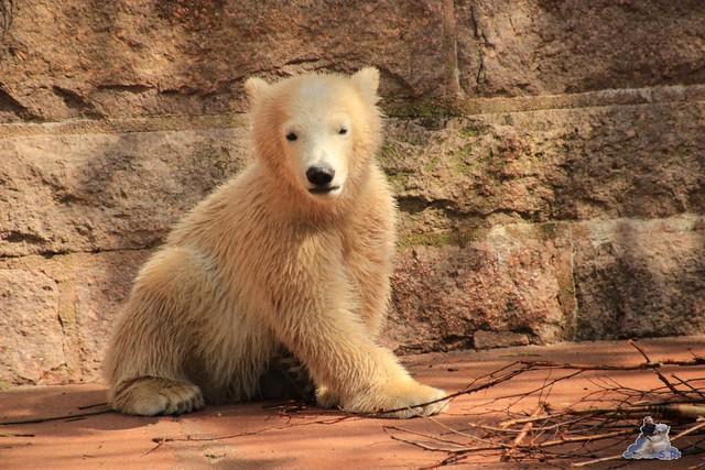Eisbär Fiete im Zoo Rostock 03.05.2015  59