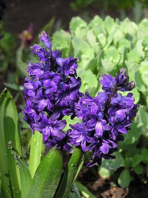 Hyacinthus orientalis 'Pacific Ocean'