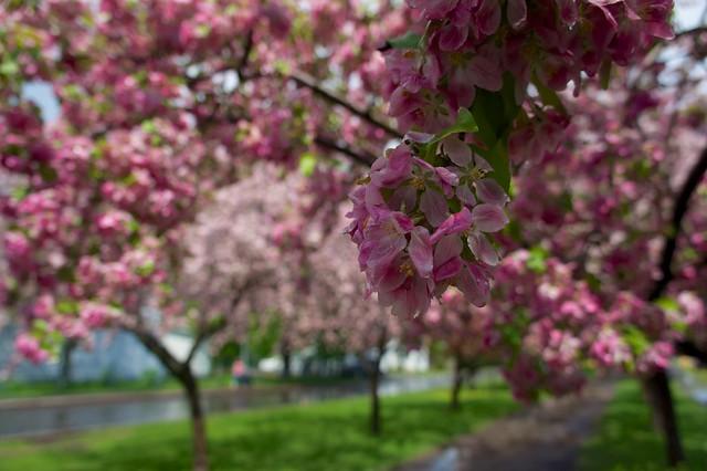 anteketborka.blogspot.com, pommiers 4