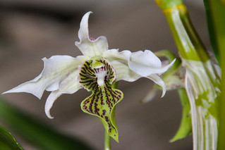 Dendrobium Spider Lily  (Roy Tokunaga x Alexandrae)