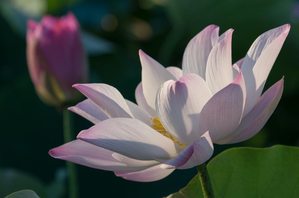 白河蓮花開始盛開
