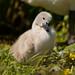 Swan Cygnet - Newport Wetlands