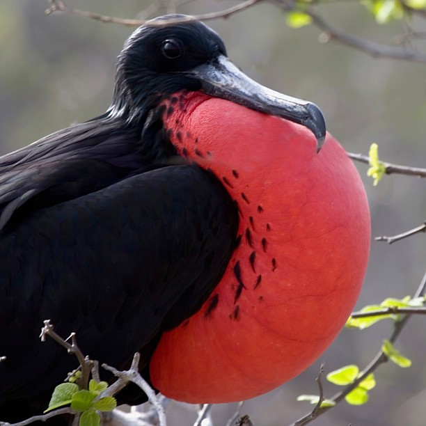Puffy Red Chest What Type Natgeo Natgeotraveler Natge