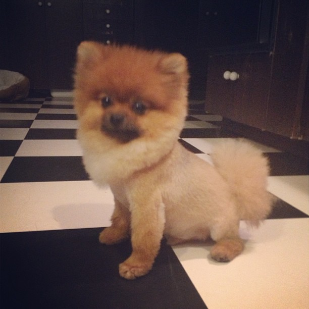 #wolfgangbenedictiii 's new summer do! #haircut #pomerania ...