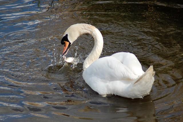 Mute Swan catch...