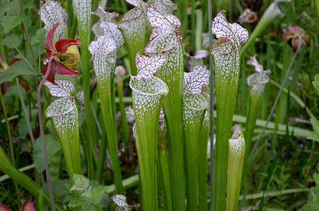 Carnivorous Pitcher PlantsCarnivorous Pitcher Plants