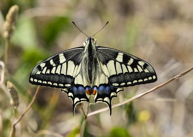 swallowtail 456 (471)