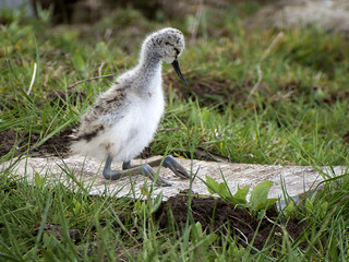 avocet chick 459 (37)b
