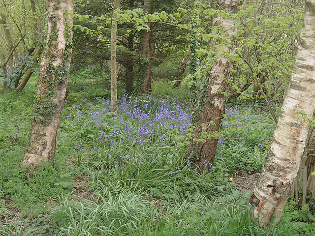 spannish bluebells under birches