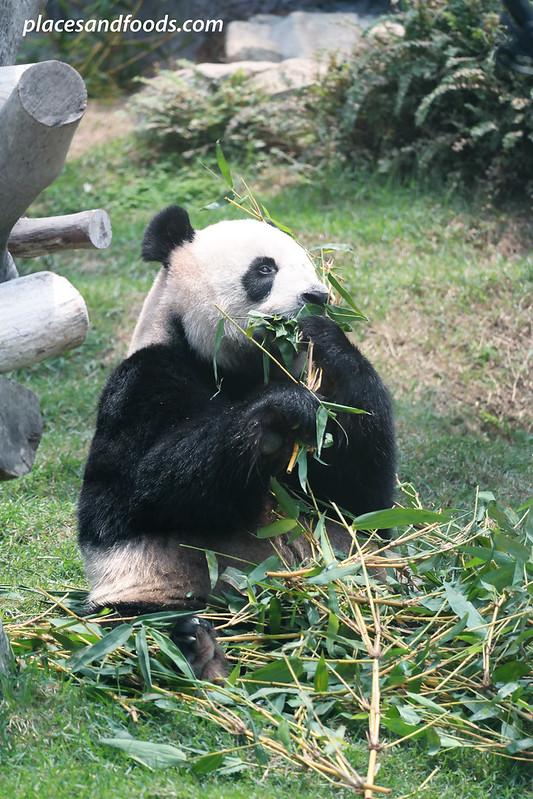 macau giant panda pavilion panda eating bamboo