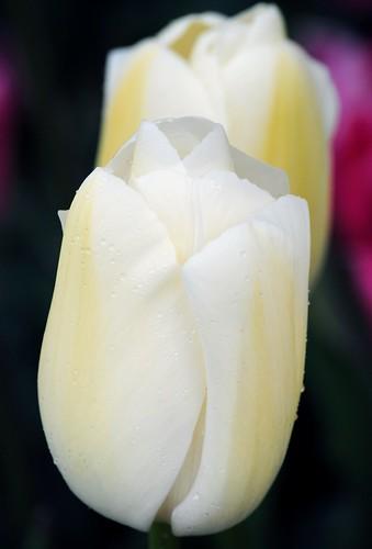 White with Rain Drop