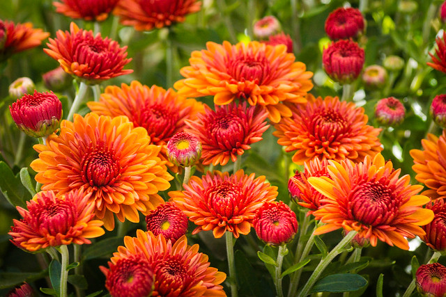 Mums, Flowers, Fall Flowers, Orange, Red, Grteen