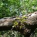 dead_elm_tree