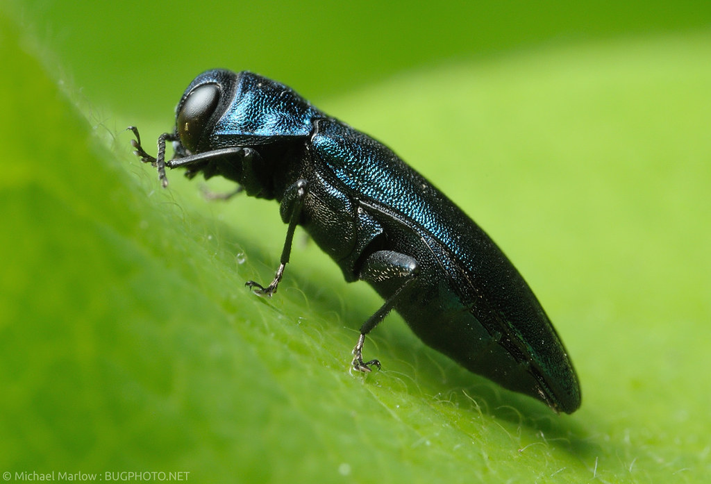Blue Jewel (Beetle) | Well, the first jewel beetles I have ...