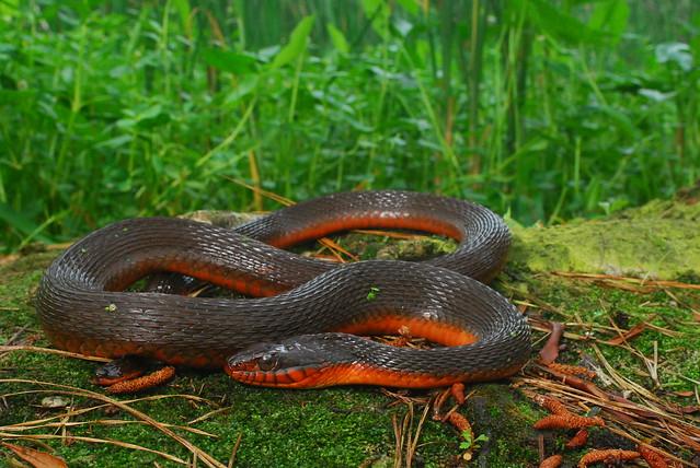 Red Bellied Water Snake Red Bellied Water Snake
