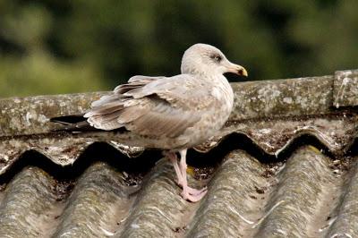 American Herring Gull, St. Mary's, 23.10.16, Kris Webb
