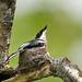 (Explored) Bar Winged Flycatcher Shrike #2