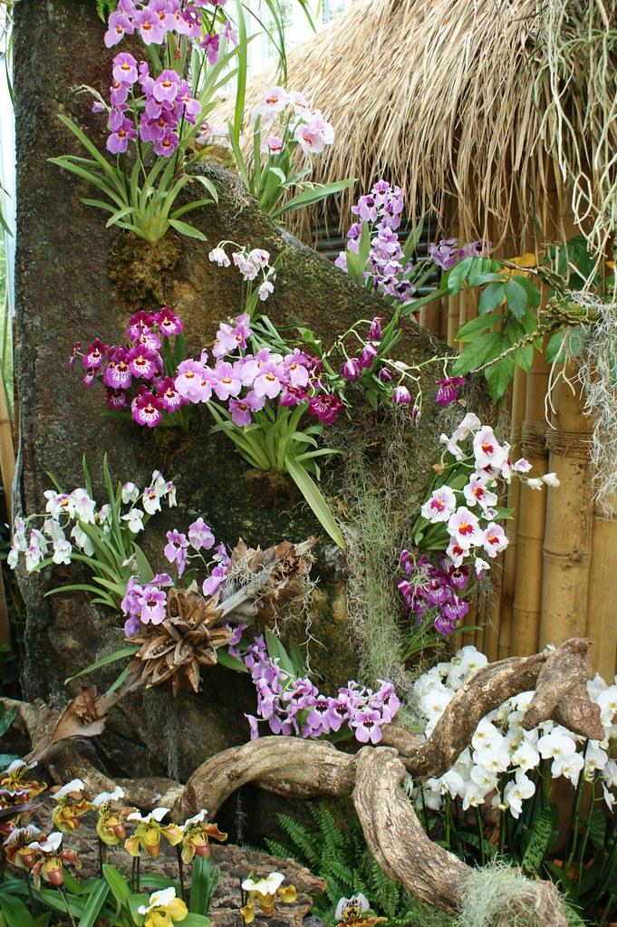 Miltoniopsis Karl Gercens Flickr