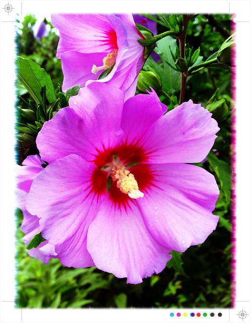 Purple Hibiscus  Flickr  Photo Sharing!