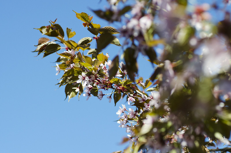 kirsikka4