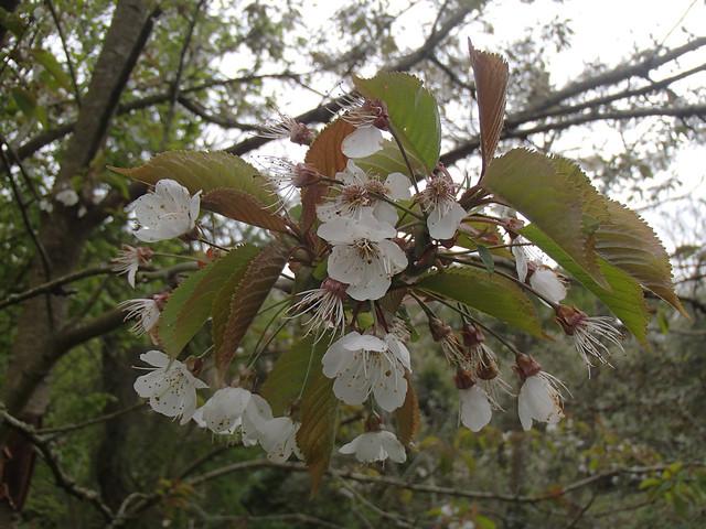 Wild Cherry blossom -  Prunus avium