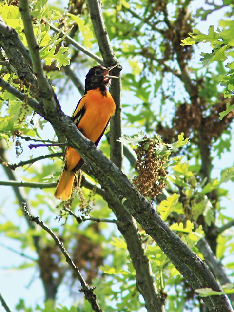 Baltimore Oriole 20150515