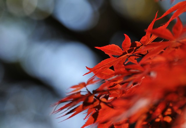 Koi Pond Maple Flickr Photo Sharing