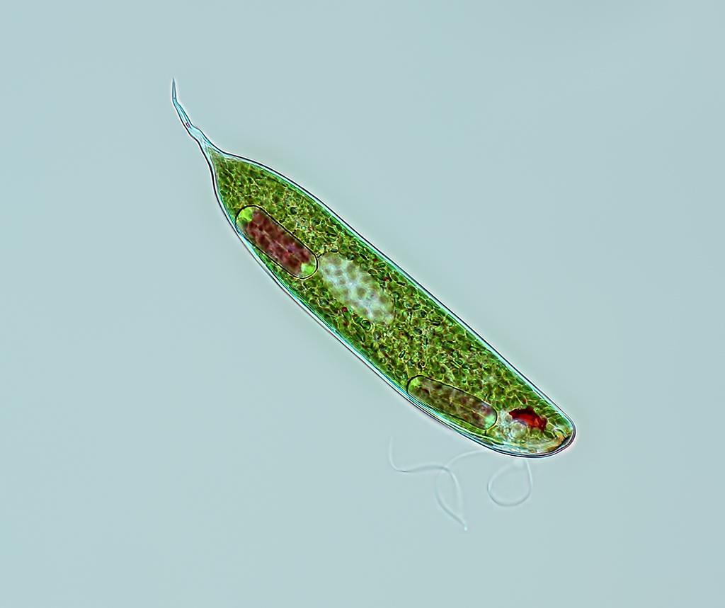 Euglena | Rogelio Moreno | Flickr