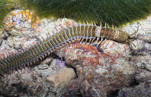 IMG_0316 Eunice sp. polychaete worm
