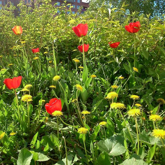 Тюльпаны у школы // Tulips by school
