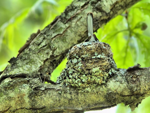 Blue-gray Gnatcatcher on nest HDR 20150521
