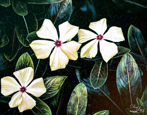 Image of Crepe Jasmine white flowers