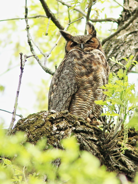 Great Horned Owl adult 2-20150507