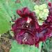 Malva-da-índia // Hollyhock (Alcea rosea)