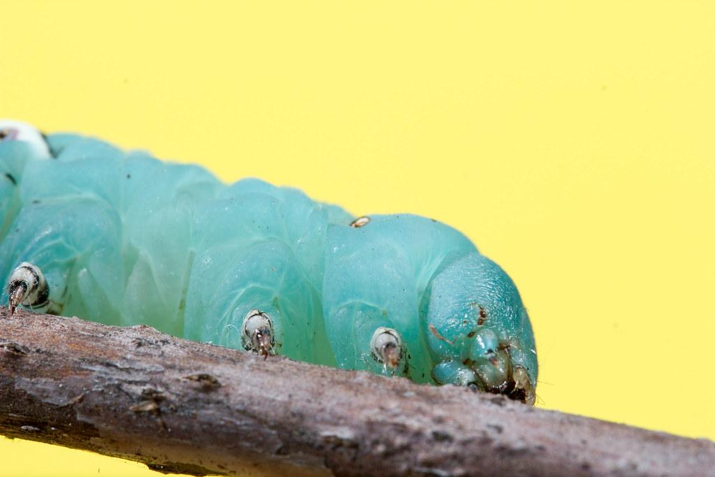 Tobacco Hornworm | Tobacco Hornworm Scientific Name ...