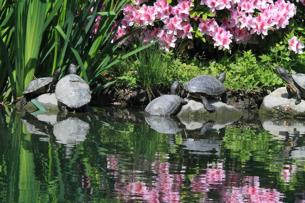 tortues et reflets jardin japonais temple t ji kyot flickr. Black Bedroom Furniture Sets. Home Design Ideas