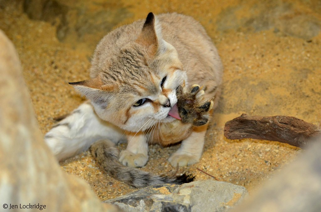 thor the sand cat