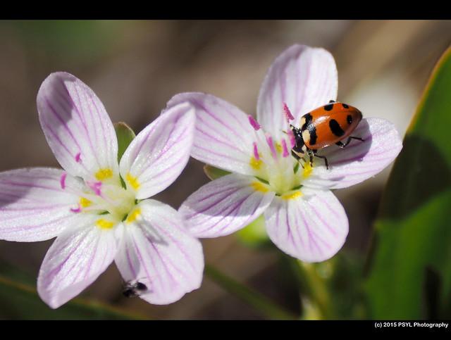 Unknown ladybug (Hippodamia sp.) visiting Spring beauty (Claytonia lanceolata)