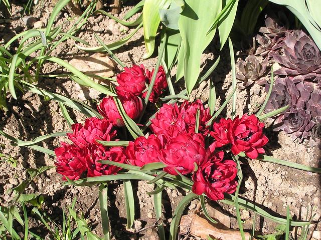 Tulipa humilis 'Tete a Tete'