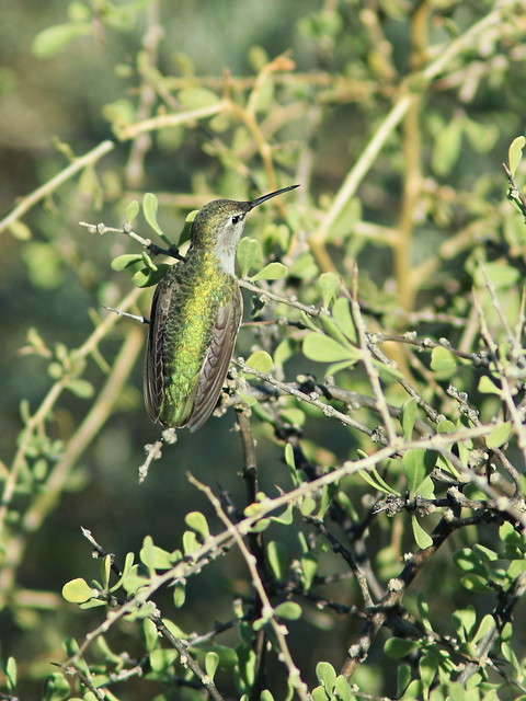Anna's Hummingbird 4-20161103