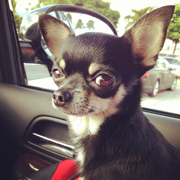 Buddy, why so serious? Lol funny #chihuahua giving me such ...