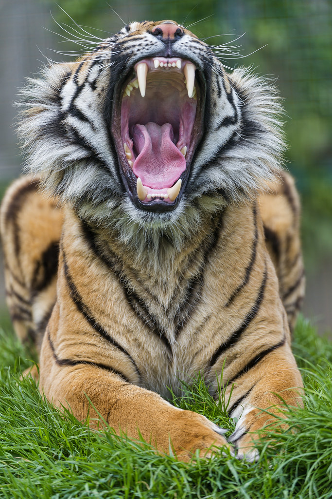 sumatran tiger map with 9684929581 on 9148465357 likewise 5936486606 as well Diffusione E Habitat additionally 4220407336 together with 11.