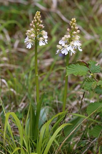 Lady Orchid Orchis Purpurea var. alba