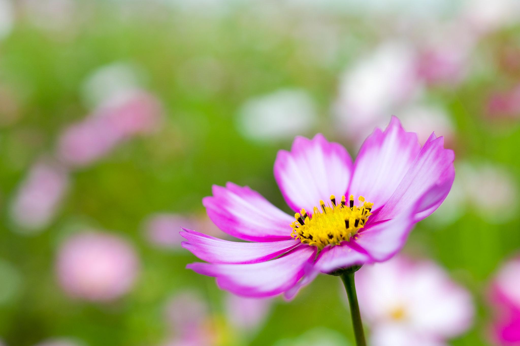 花畑の一輪