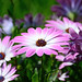 African Daisies