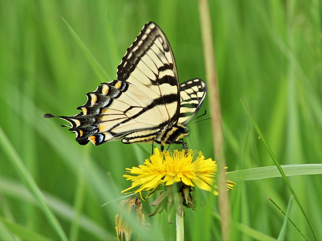 Eastern Tiger Swallowtail 3-20150515