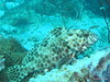 Honeycomb grouper