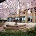 The Urban Tea Merchant's courtyard of sakura