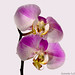 Orchid Tilt